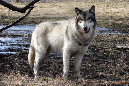 wolves: gray wolf on a swamp  Stock Photo