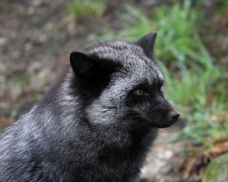 silver fox: silver phase fox