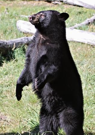 ours noir debout