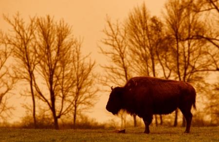 buffalo grass: bison at sunset