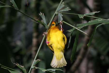 Yellow Weaver photo