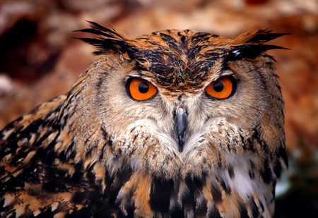 Eagle owl Banque d'images