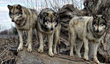 wolves: wolves on a log
