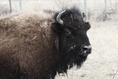 great plains: female bison