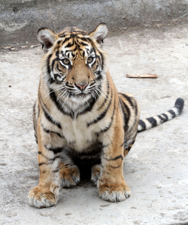 Tiger cub: Cachorro de tigre