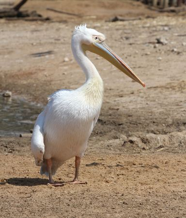 pelican: White Pelican standing Stock Photo