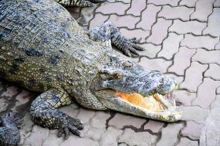 siamensis: Crocodile for export, animals economy
