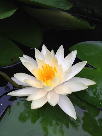 white lotus: white lotus in pond Stock Photo