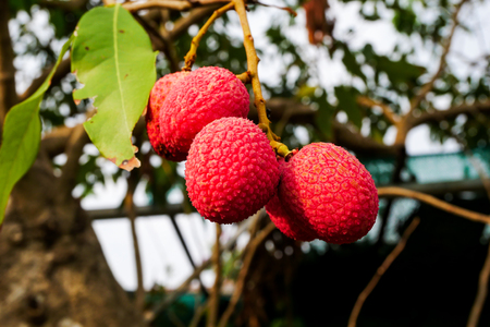Fresh lychee on tree, Lychee fruit. Lichi scientific name: Litchi chinensis Sonn. Fruit on tree in the garden, natural background blur.