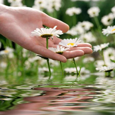 convivialit�: La prise femelle de main camomiles blancs