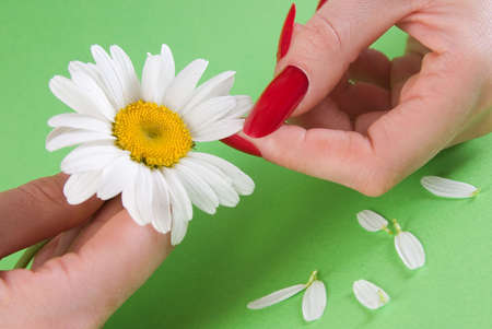 conjecture:  Close-up of fingers and camomile  on a green background Stock Photo