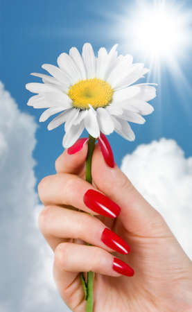 A camomile in a females hand photo