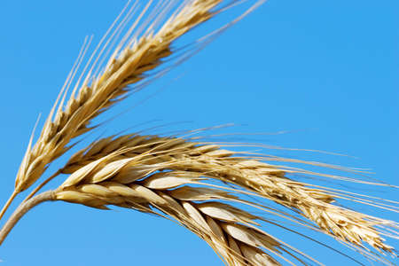 Golden wheat on a blue sky background Stock Photo - 1756475