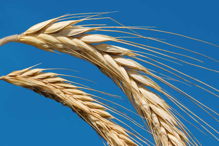 Golden wheat on a blue sky background Stock Photo - 1756472