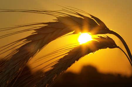 Silhouette of wheat on a sundown background photo