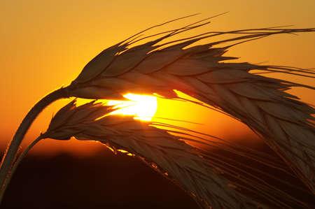 Silhouette of wheat on a sundown background Stock Photo - 1756468