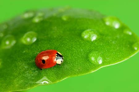 Close-up of ladybird on wet leaf Stock Photo - 2096863