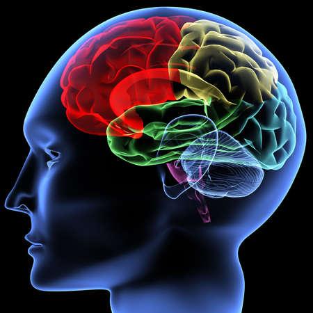 partes del cuerpo humano: Escaneo de un cerebro humano de los rayos X  Foto de archivo