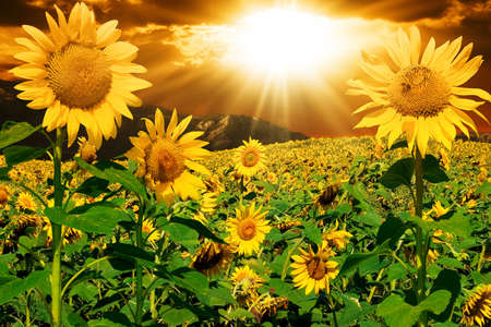 Sunflowers on a background of magic sky Stock Photo