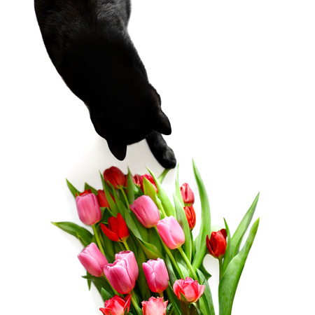Black cat with bouquet of red tulips and roses on white  photo