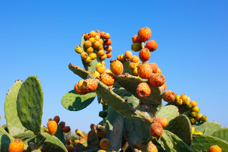 Prickly pear (Opuntia ficus-indica, also known as Indian fig opuntia, barbary fig, cactus pear, spineless cactus) with sweet orange fruits tunas.