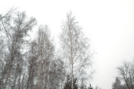 Crown of birch trees under winter gray dull sky. Winter season background. photo