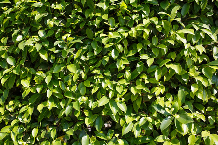 Green hedge fence (hedgerow) of Ficus Benjamina. Weeping fig. Texture background. Banco de Imagens