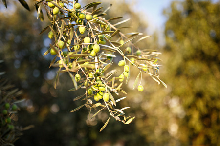 Many green olives on olive tree branch in autumn. Season nature image. Selective Focus. photo