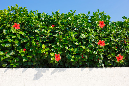 hibiscus: Bush green hedge wir red hibiscus flowers.