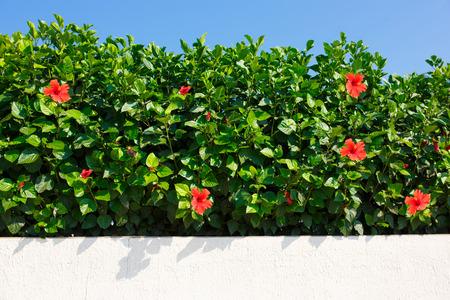 Bush groene haag wir rode hibiscus bloemen. Stockfoto