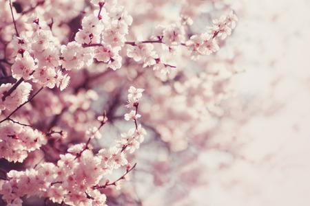 primavera: Flores de primavera de cerezo, flores de color rosa.