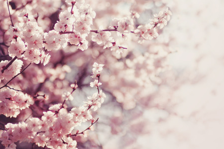 april flowers: Spring Cherry blossoms, pink flowers.