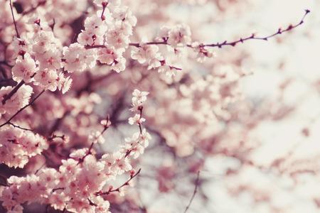 � spring: Flores de primavera de cerezo, flores de color rosa.