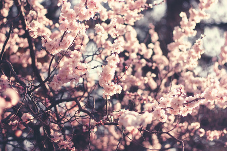 almond bud: Spring Cherry blossoms, pink flowers.