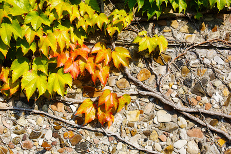 clinging: Beautiful Ivy Parthenocissus quinquefolia. Clinging red, yellow, green autumn leaves on the stone wall.