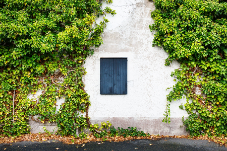 ivy wall: Window  with closed wooden shutters in rural house decorated with green ivy wall
