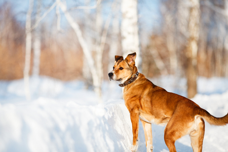 half breed: Strong healthy mongrel dog portrait in winter forest Stock Photo