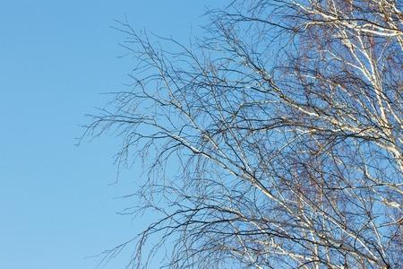 Birkenzweige im Winter ohne Blätter gegen den blauen Himmel Standard-Bild