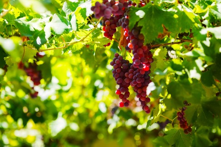 western slope: Bunches of red wine grapes hanging on the wine in late afternoon sun
