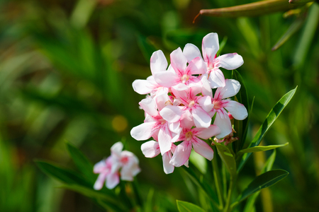 oleander: Oleander shrub, pink rose flowers with leaves. Nerium oleander