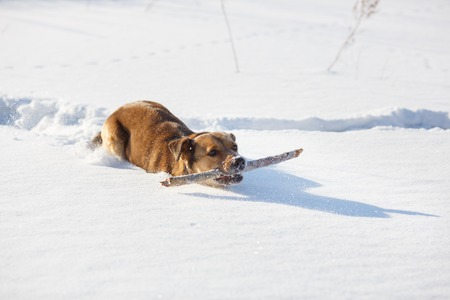 retrieving: Dog playing and retrieving a stick in winter park Stock Photo