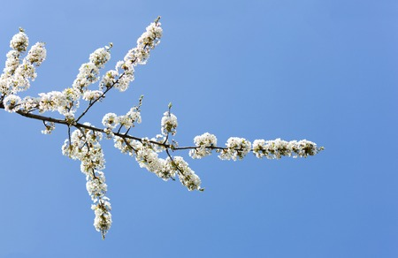 Spring flowers, branch of a blossoming apple tree and clear blue sky