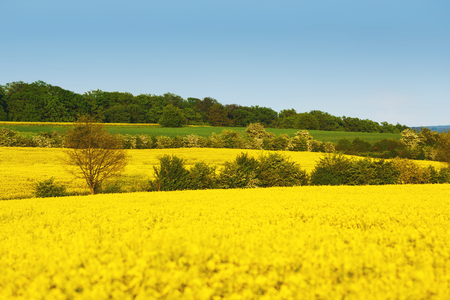 Yellow field with rapeseed flowers and trees between fields. Oil seed rape meadow in blossom Banco de Imagens