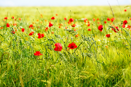 Red poppy flowers, summer field. Bright day