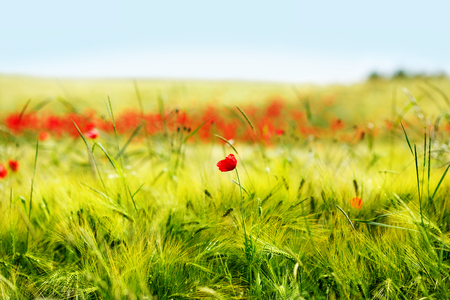 Field of bright red corn poppy flowers in summer day