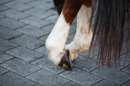 Close up of horse hoof with horseshoe in a rest