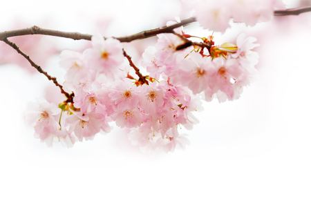 Spring Cherry blossoms, pink flowers in bloom.