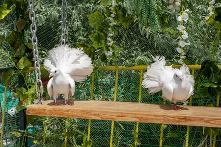 A pair of white beautiful pigeons sitting on a hanging bench against the green background. Decorative white birds in the Park outdoor closeup