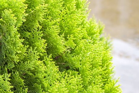 Thuja twig, Thuja occidentalis is an evergreen coniferous tree. Platycladus orientalis, also known as Chinese thuja. Landscape design