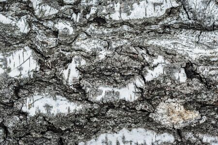 Rough bark of a birch tree close-up. A simple photo of an old tree bark.